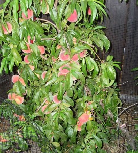 Peach tree in garden, heavy with peaches, leaning